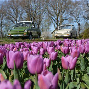 Daf rijden door Drenthe in het voorjaar. Genieten van de de bollenvelden vol met tulpen.