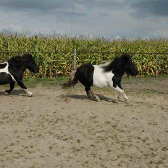 Teambuilding met paarden bij het Drents kwartiertje.