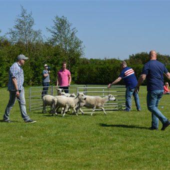 schapen drijven workshop 16 - Het Drents Kwartiertje - Solex Huren / Rijden - Dafje Huren / Rijden - Groepsactiviteiten, workshops, teambuilding en trainingen Drenthe