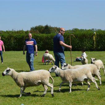 Teambuilding met schapen drijven. Communicatie en samenwerking staan centraal.