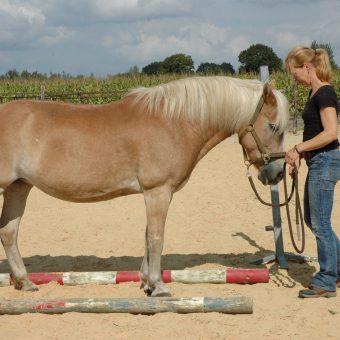 Teambuilding met behulp van paarden bij het Drents kwartiertje.